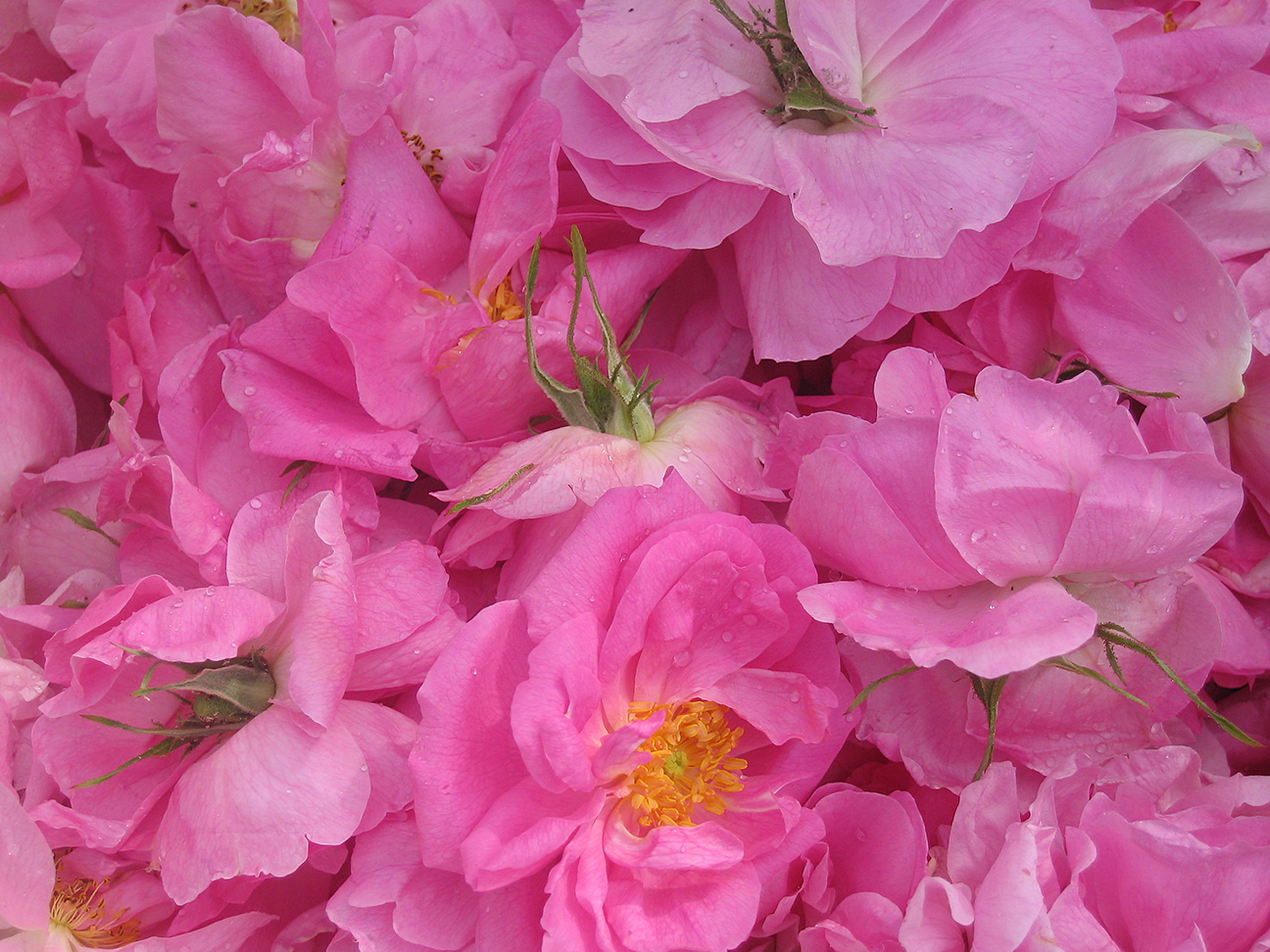 Damascena rose blossoms to make Rose Essential Oil and Water