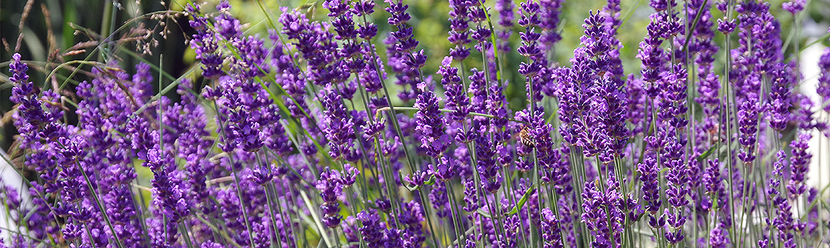 Lavender Blossoms to make Lavender Essential Oil